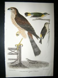 Alexander Wilson 1832 Hand Col Bird Print. Sharp-Shinnd Hawk, Redstart, Yellow-Rump